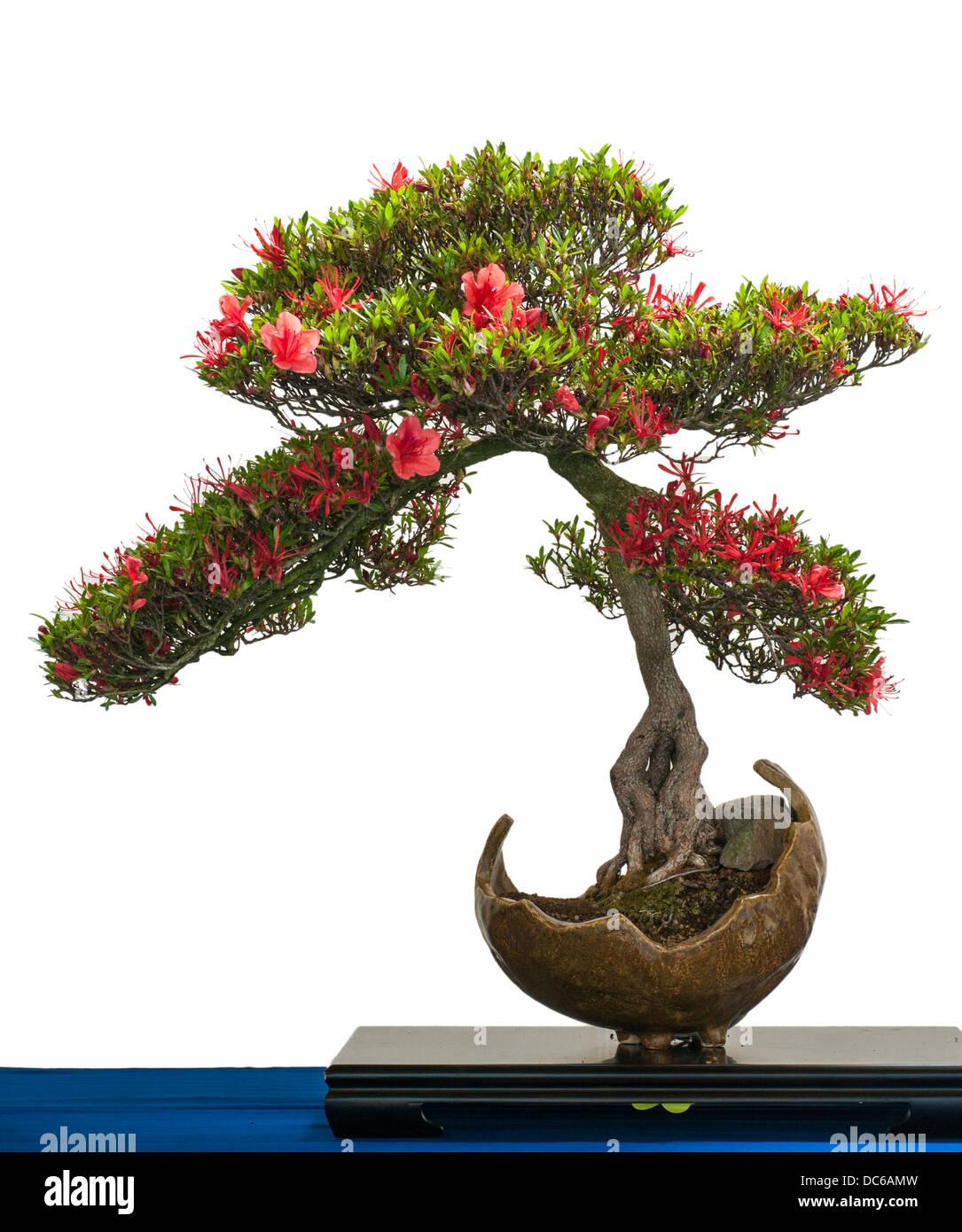 Bonsai Tree Rhododendron Indicum Stock Photos Bonsai Tree