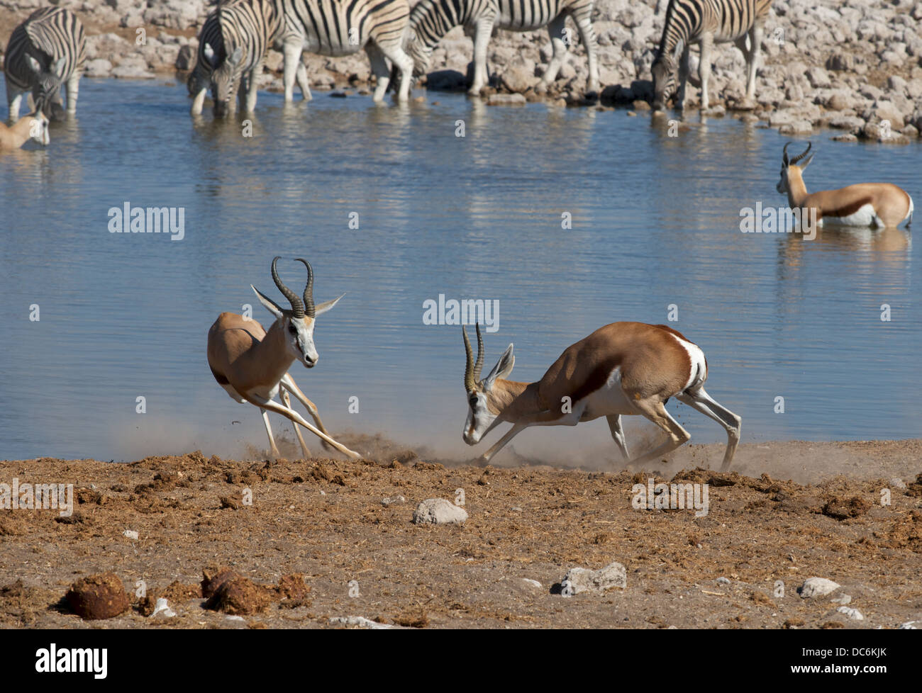 Fighting springboks at watering hole - Stock Image