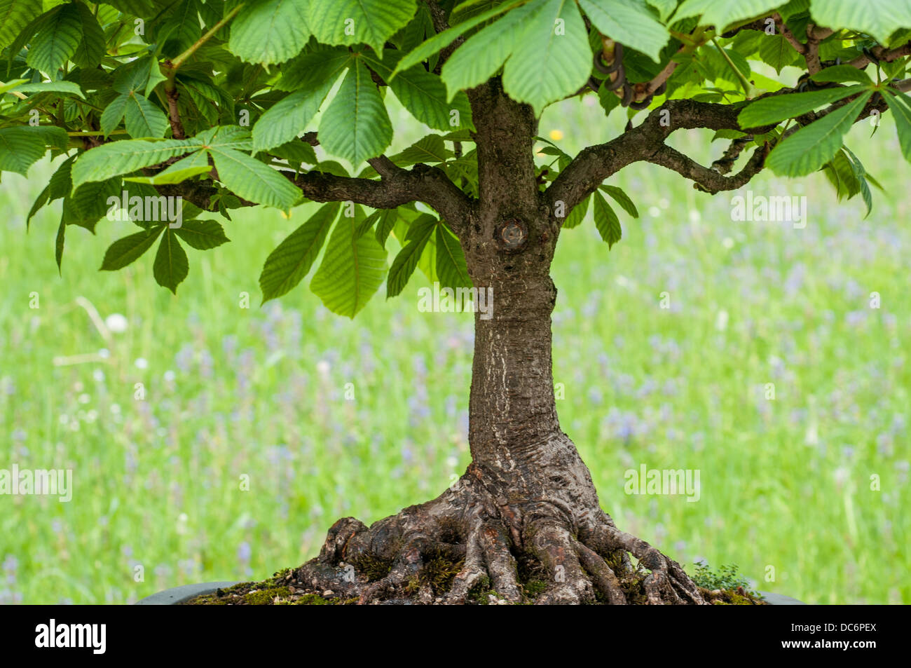 Old horse chestnut tree as bonsai with old roots - Stock Image