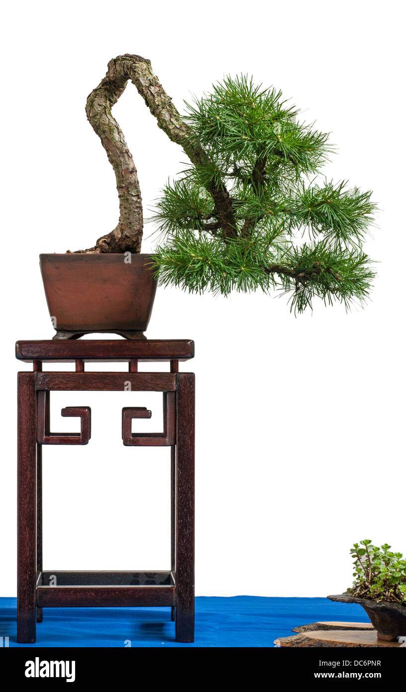 White isolated conifer european larch as bonsai tree - Stock Image