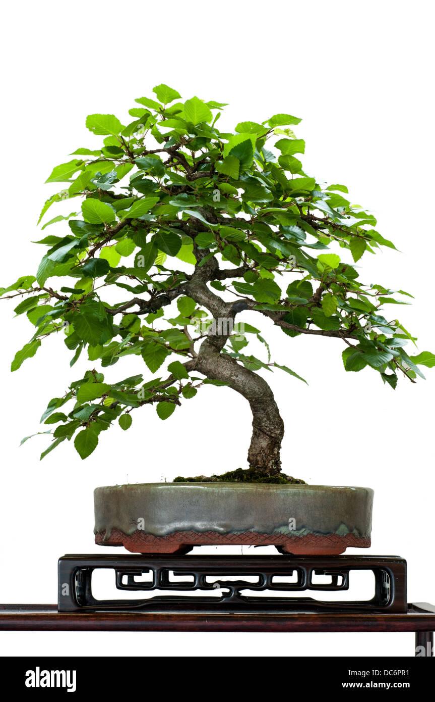 White isolated little hornbeam tree as bonsai - Stock Image