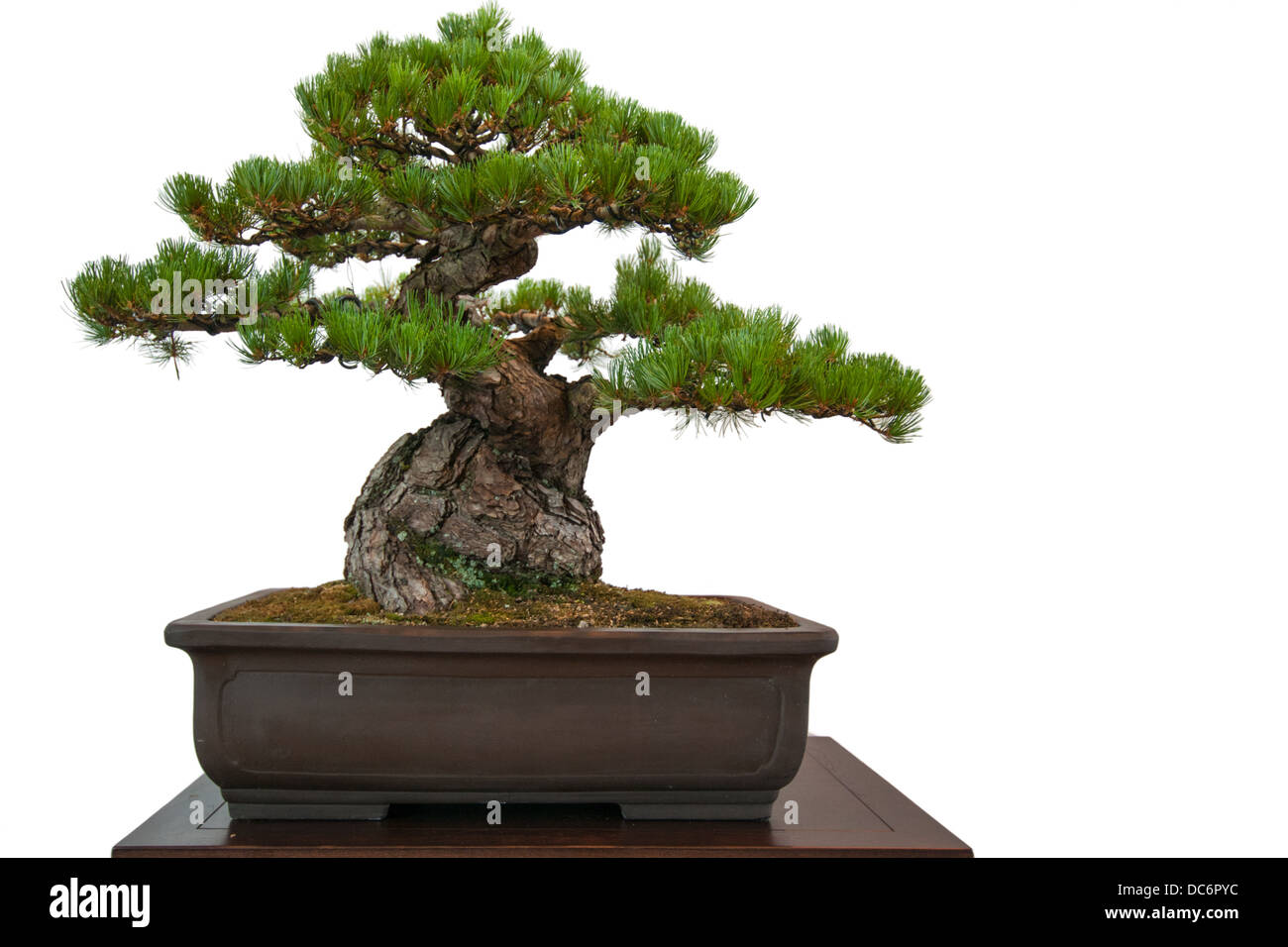 Old white isolated pine (Pinus parviflora) as bonsai tree in a pot - Stock Image