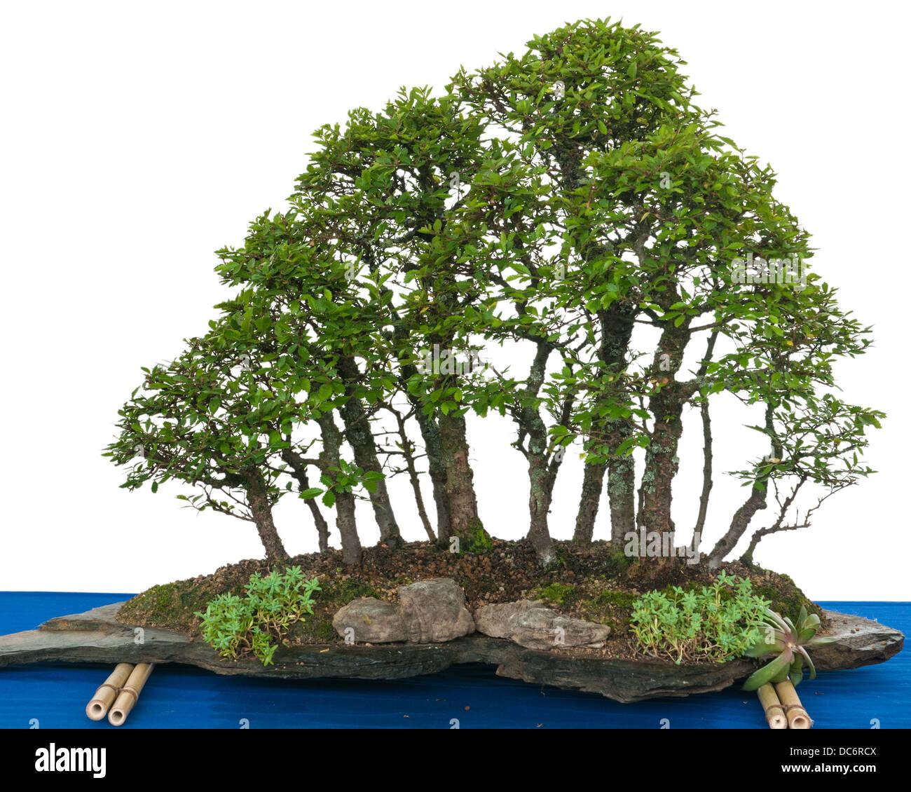 Forest with elm bonsai trees (Zelkova nire) on a stone slate - Stock Image