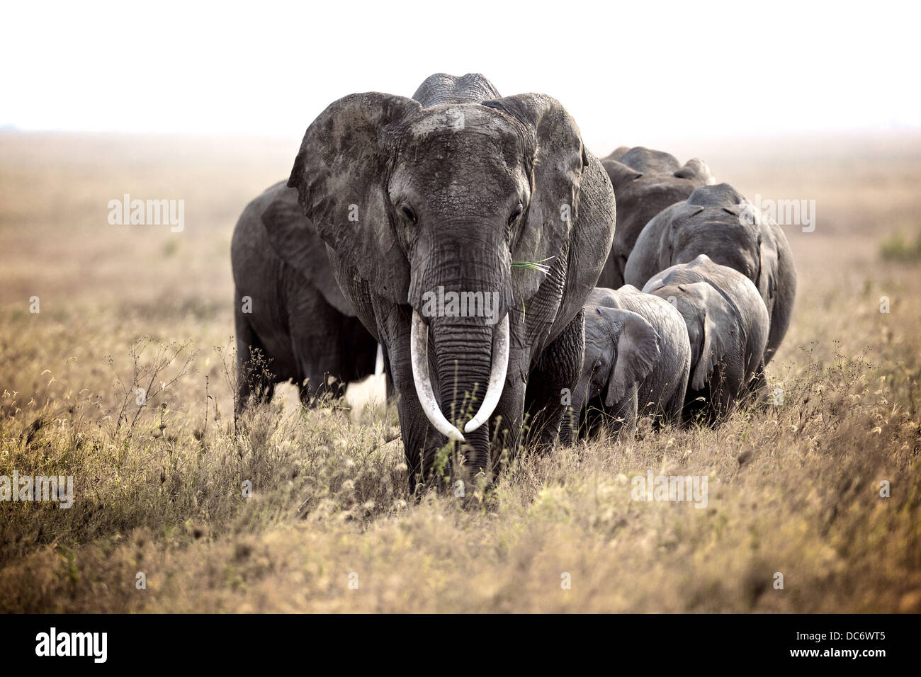 Family herd of African elephants in the Serengeti. Tanzania - Stock Image