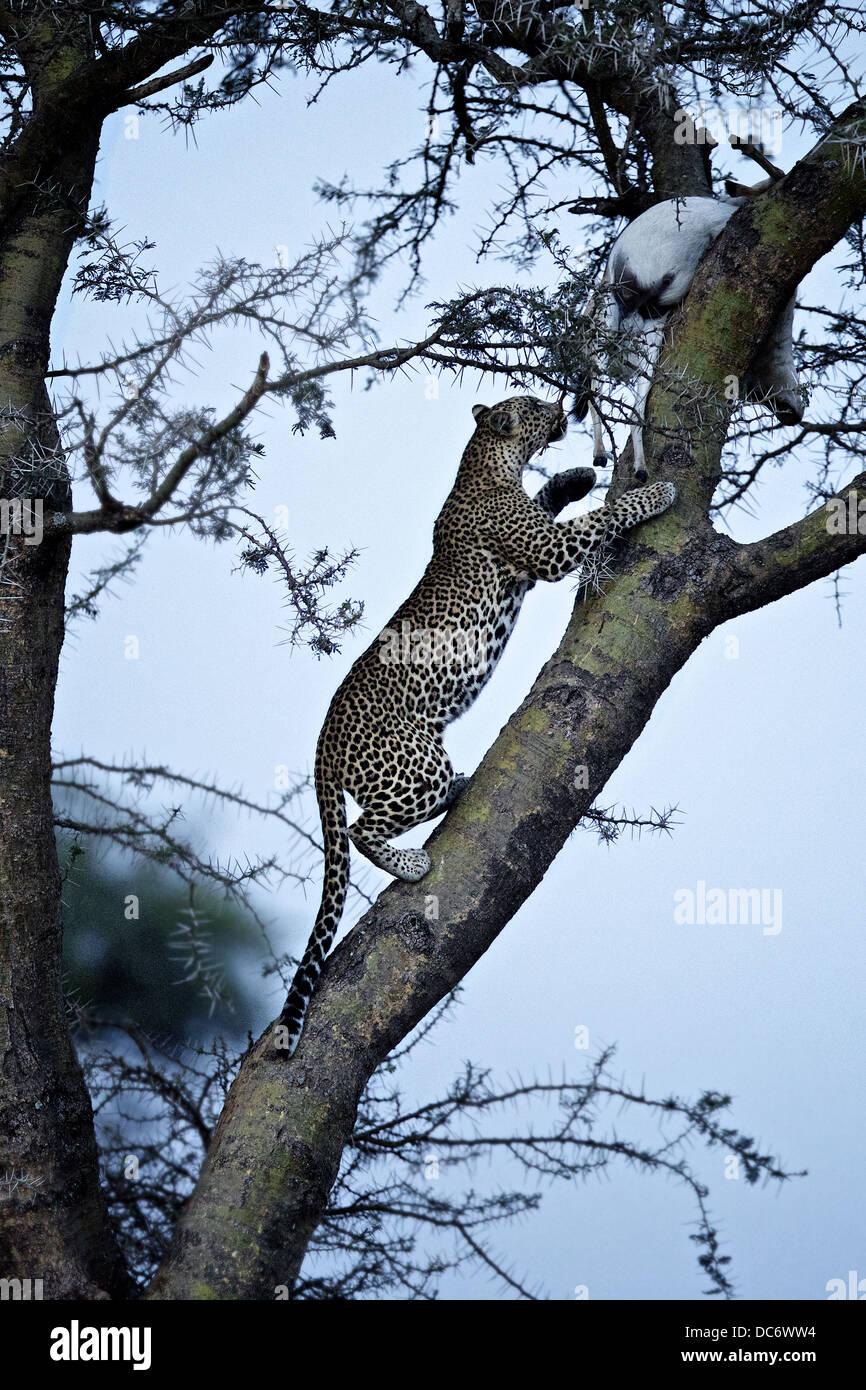 Leopard climbs tree to retrieve its kill. Serengeti Tanzania - Stock Image