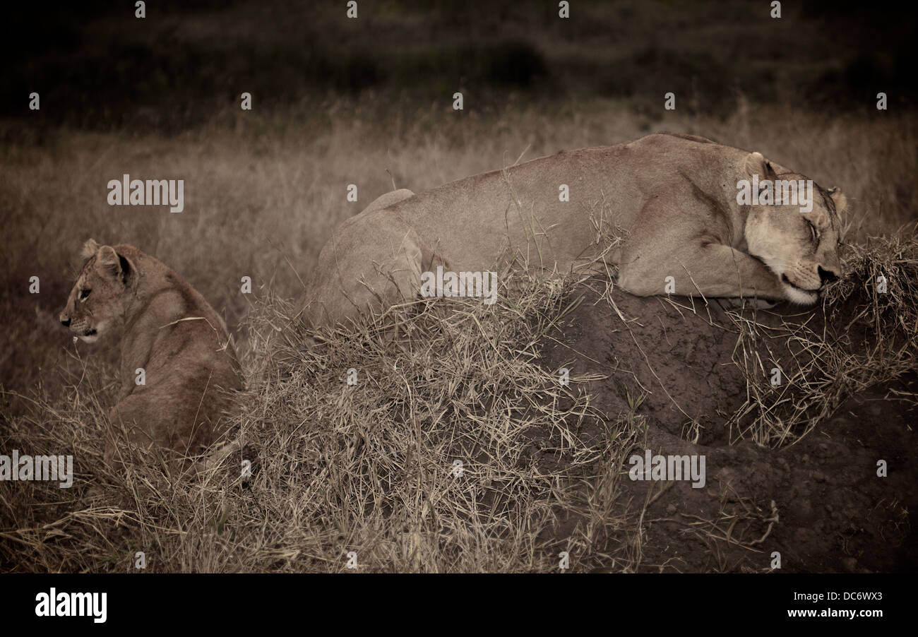 Female mother lion sleeps with her cub. Serengeti . Tanzania Africa. - Stock Image