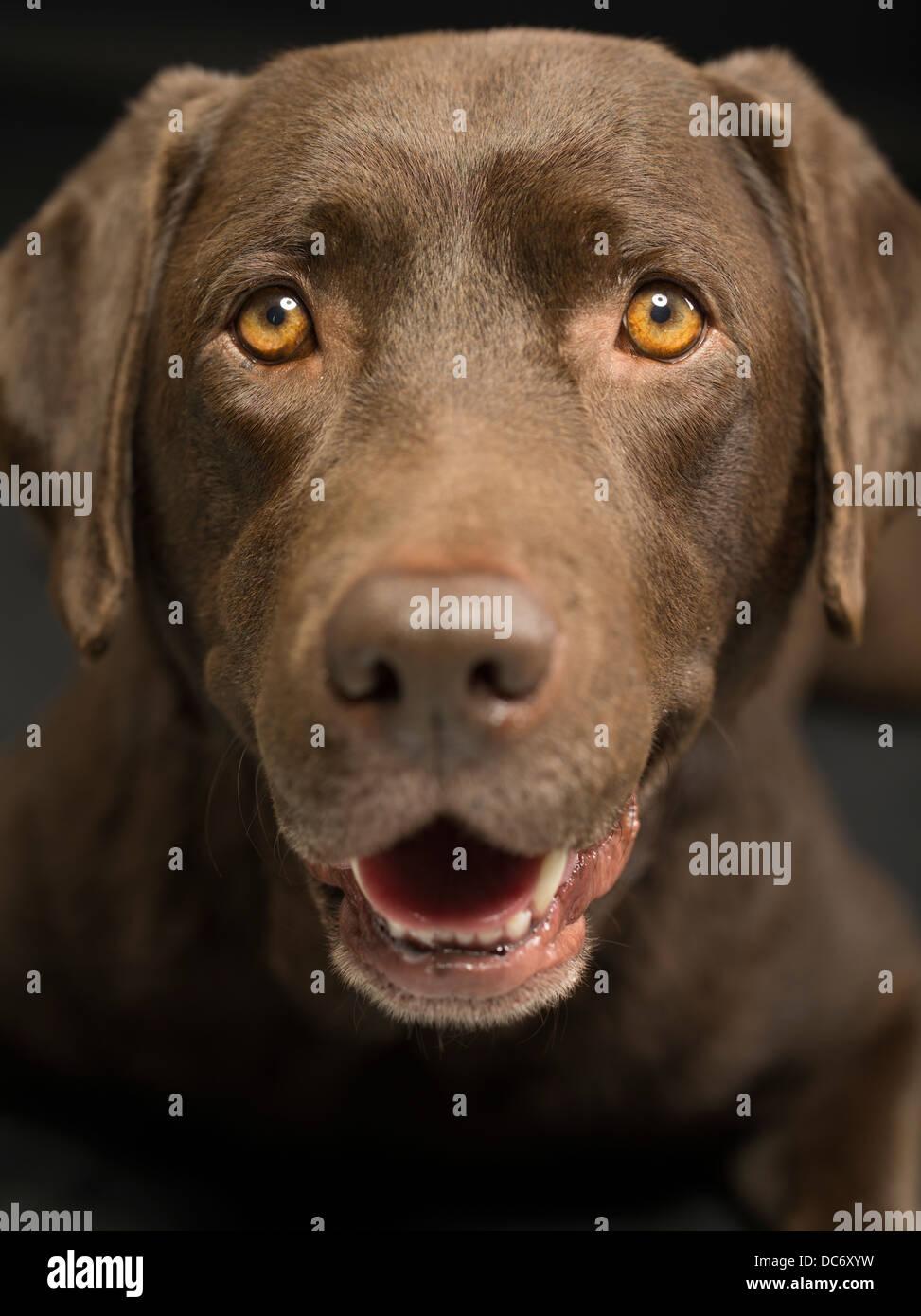 Chocolate labrador Retriever studio portrait - Stock Image