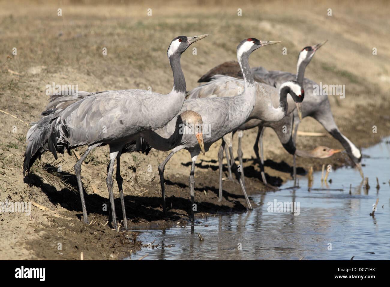 Common Crane, Grus grus, flock drinking Stock Photo