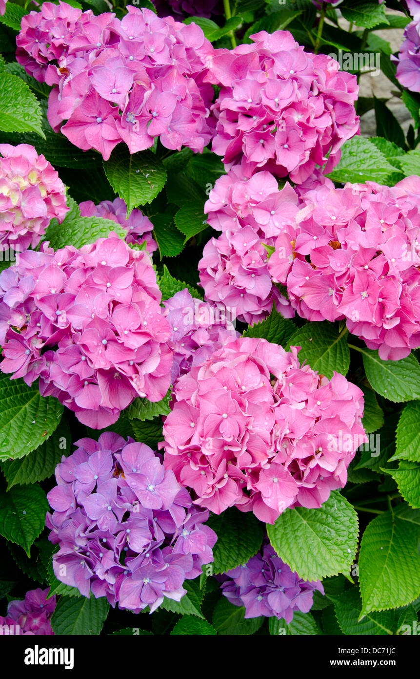 Massachusetts, New Bedford. Blooming hydrangeas. - Stock Image