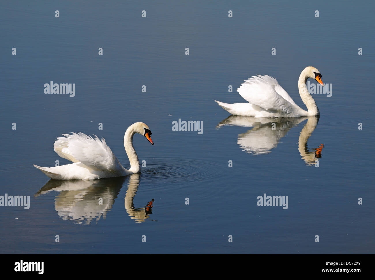 Pair of graceful white swans and their reflection on a calm lake Stock Photo