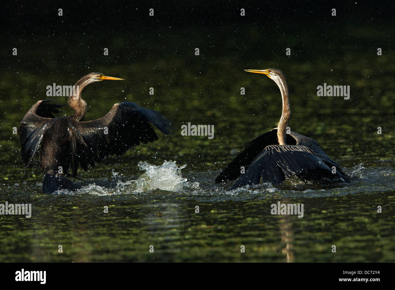 Darter (Snake Bird) in action Bharatpur, India. ( Anhinga melanogaster ) - Stock Image
