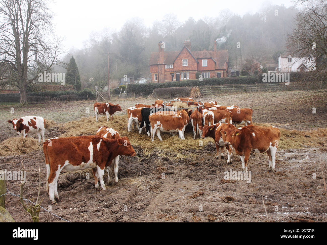 Rural scene of Cattle feeding on Winter Hay in a Muddy field in England - Stock Image