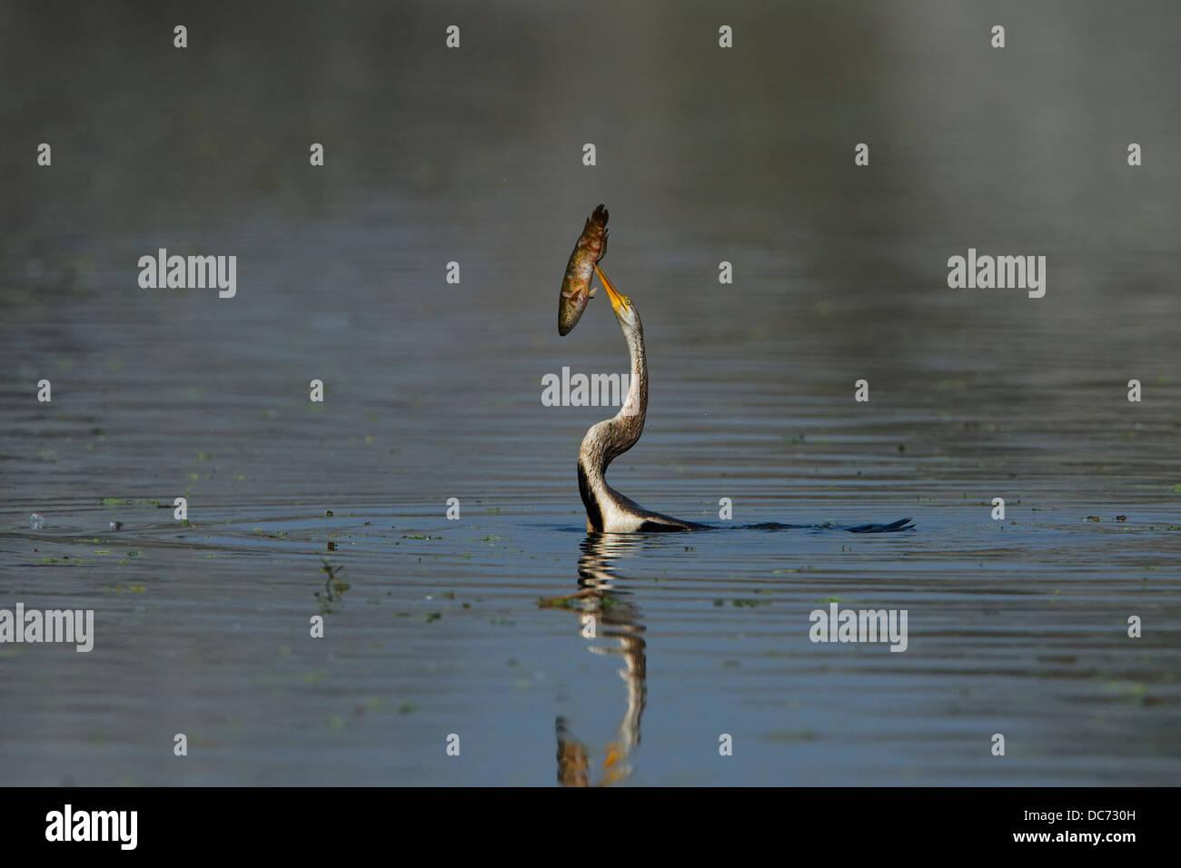 Darter (Snake Bird) tossing the fish at Bharatpur, India. ( Anhinga melanogaster ) - Stock Image