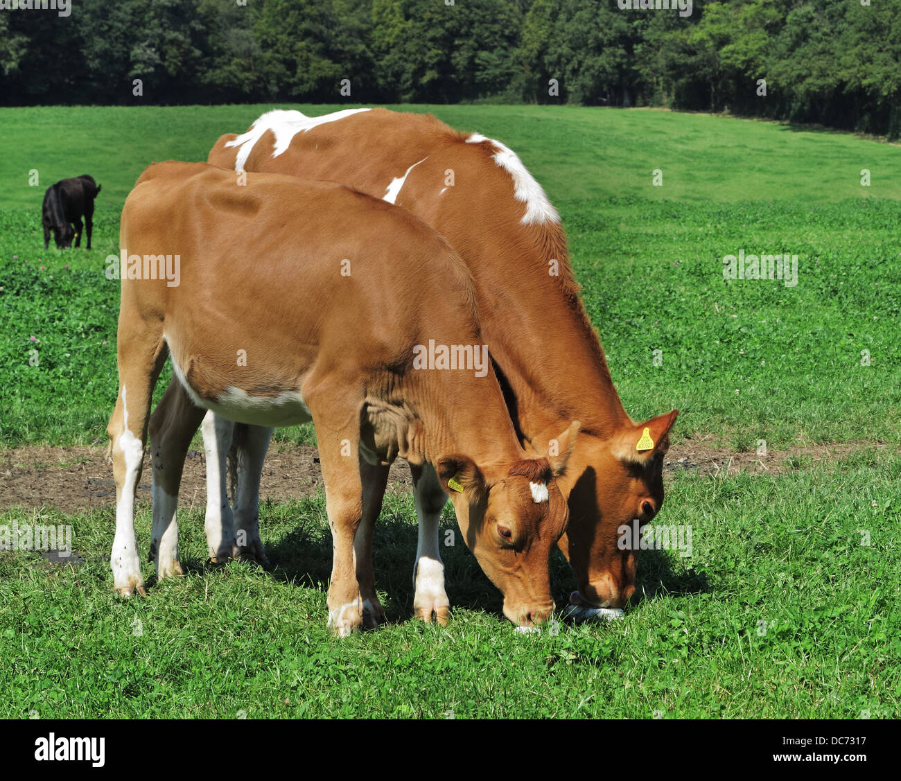 a Pair of young Guernsey Cows licking a salt lick in an English meadow - Stock Image