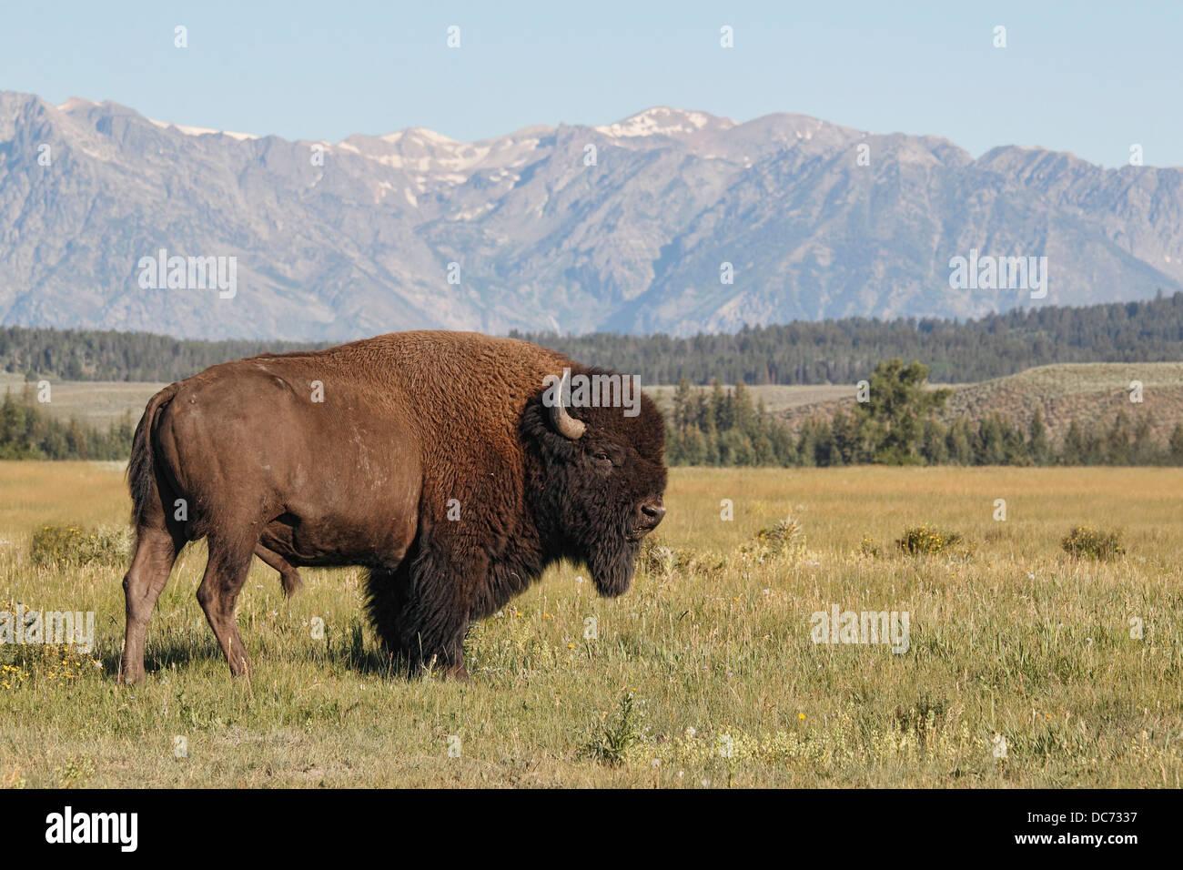 American Bison (Bison bison), Grand Teton National Park - Stock Image