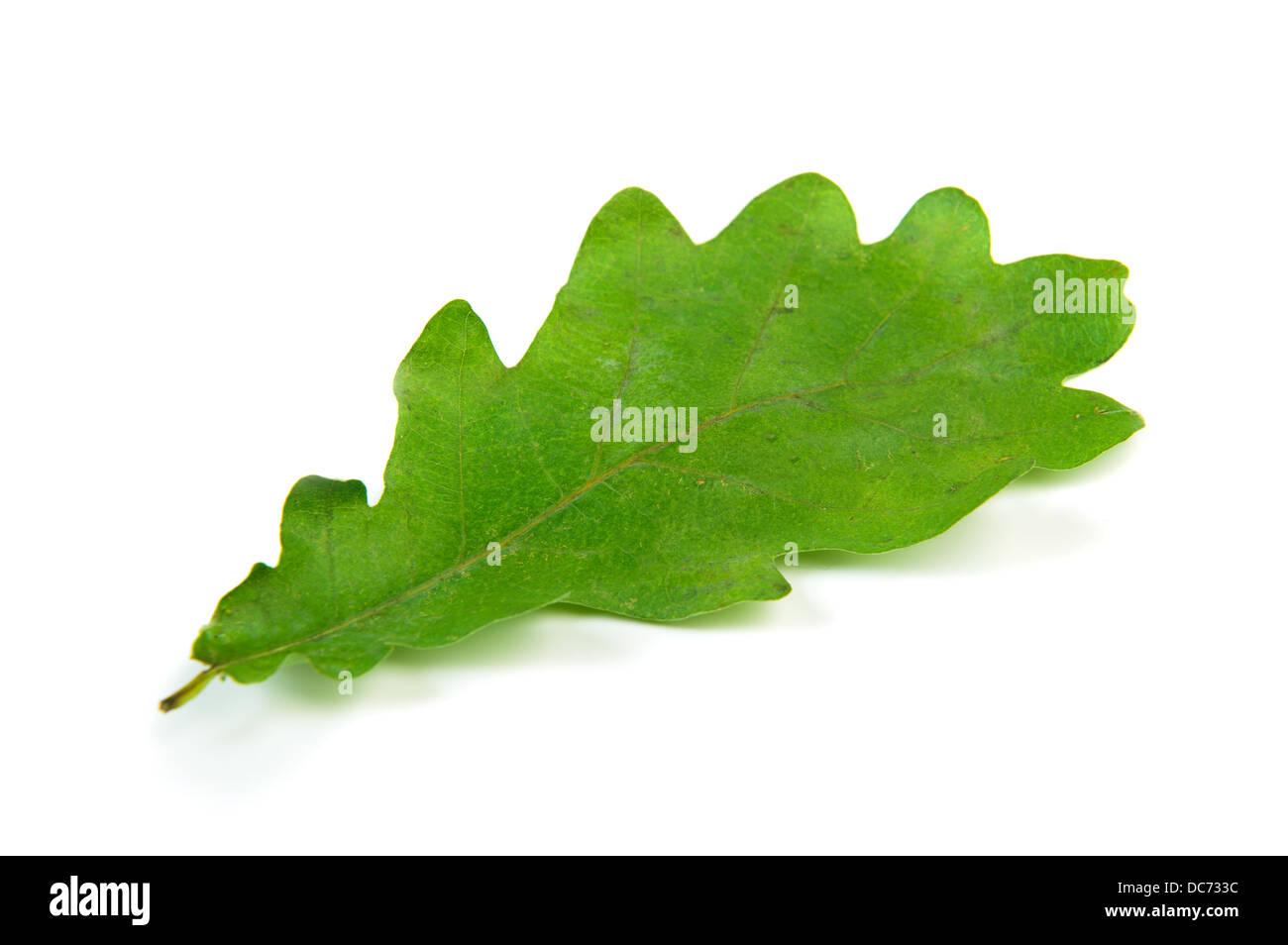 Single oak leaf isolated over white Stock Photo
