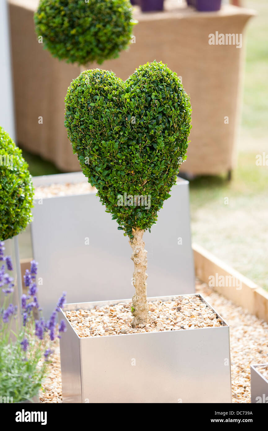 buxus sempervirens topiary clipped into a heart shape growing in a container - Stock Image