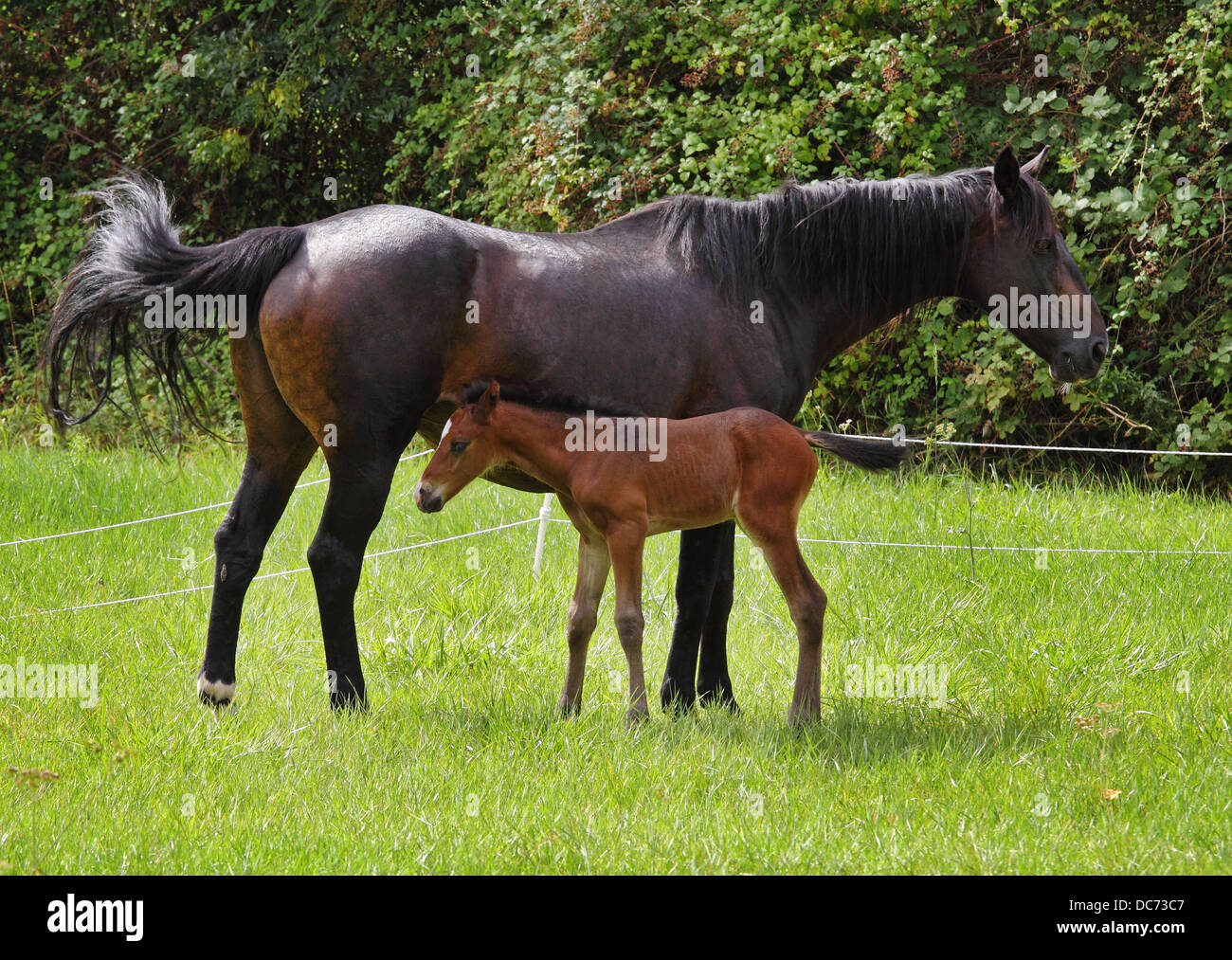 Bay Horse and foal in an English meadow - Stock Image