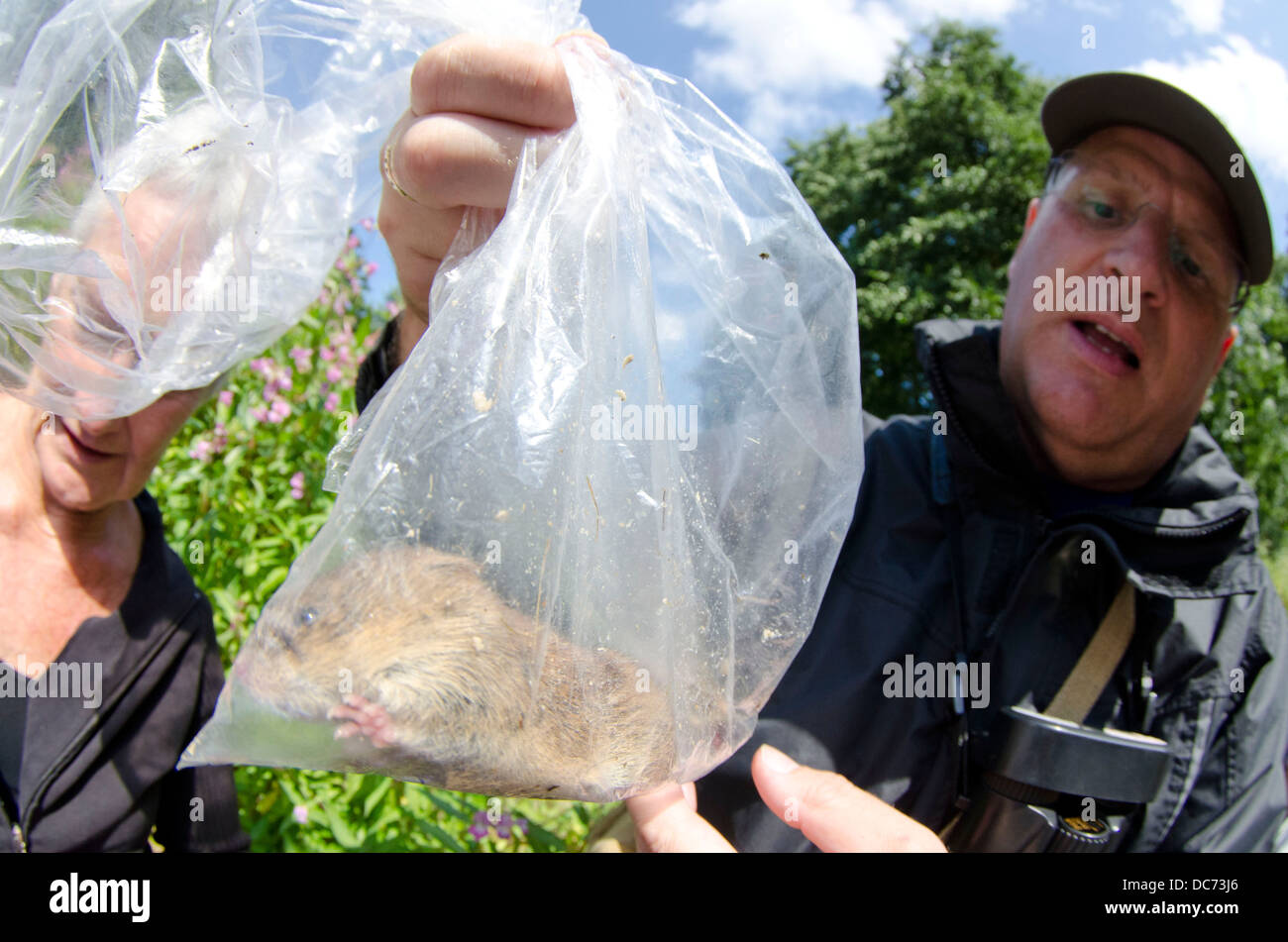 Bank vole in mammal trap - Stock Image