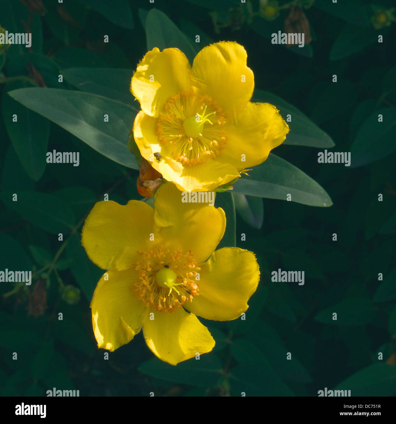 Rose Of Sharon Stock Photos Rose Of Sharon Stock Images Alamy