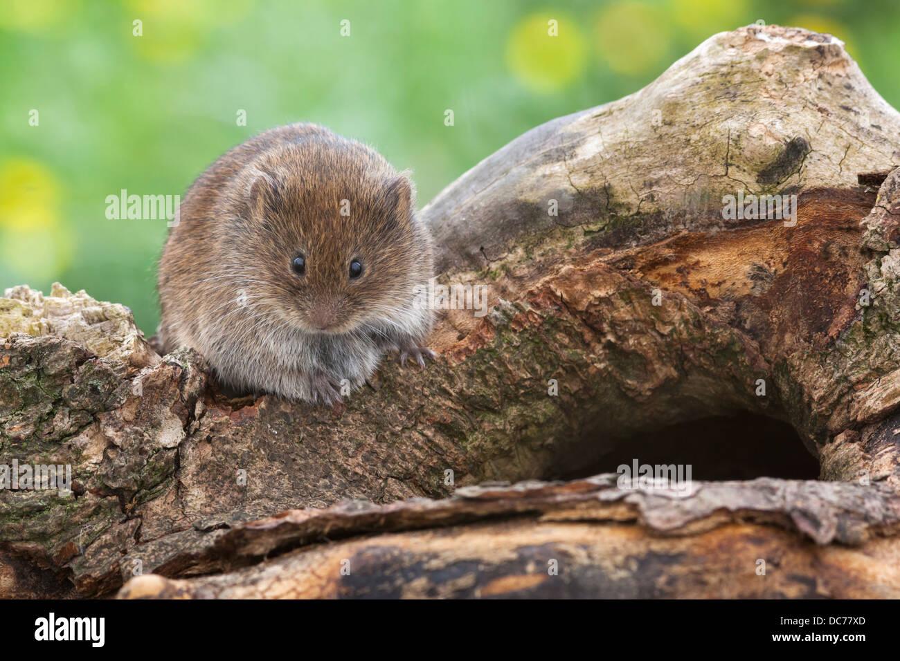 Field vole (Short-tailed vole) (Microtus agrestis), captive, UK, June 2013 - Stock Image