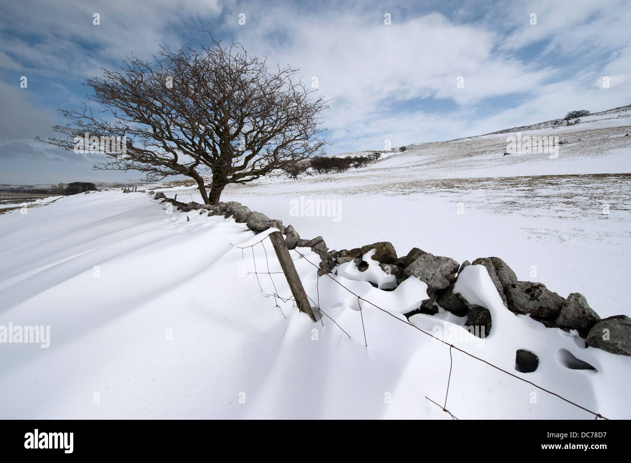 Snowdrifts behind a drystone wall, with a lone hawthorn tree. Cumbria, UK. - Stock Image