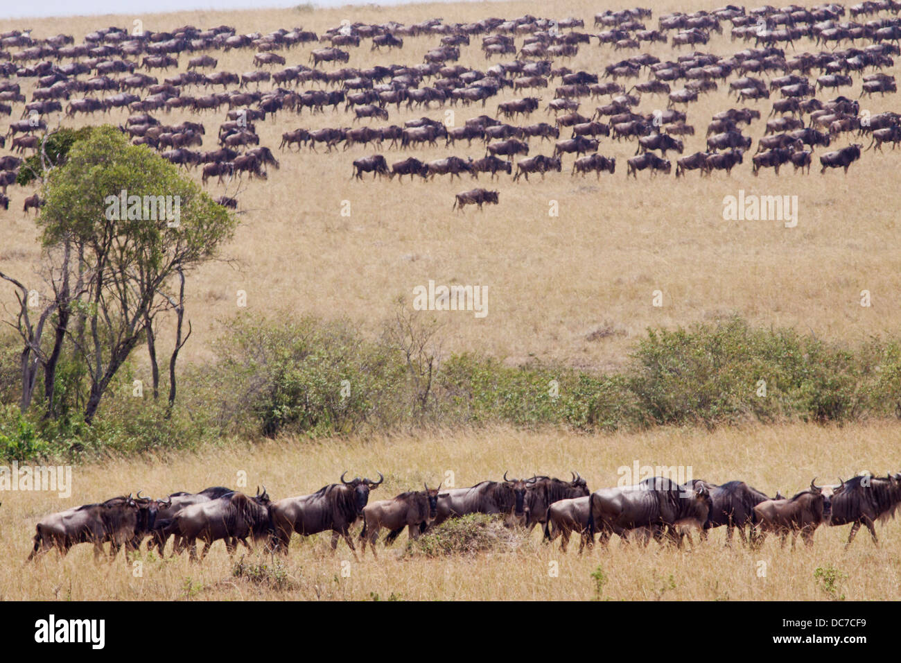 The great migration. - Stock Image