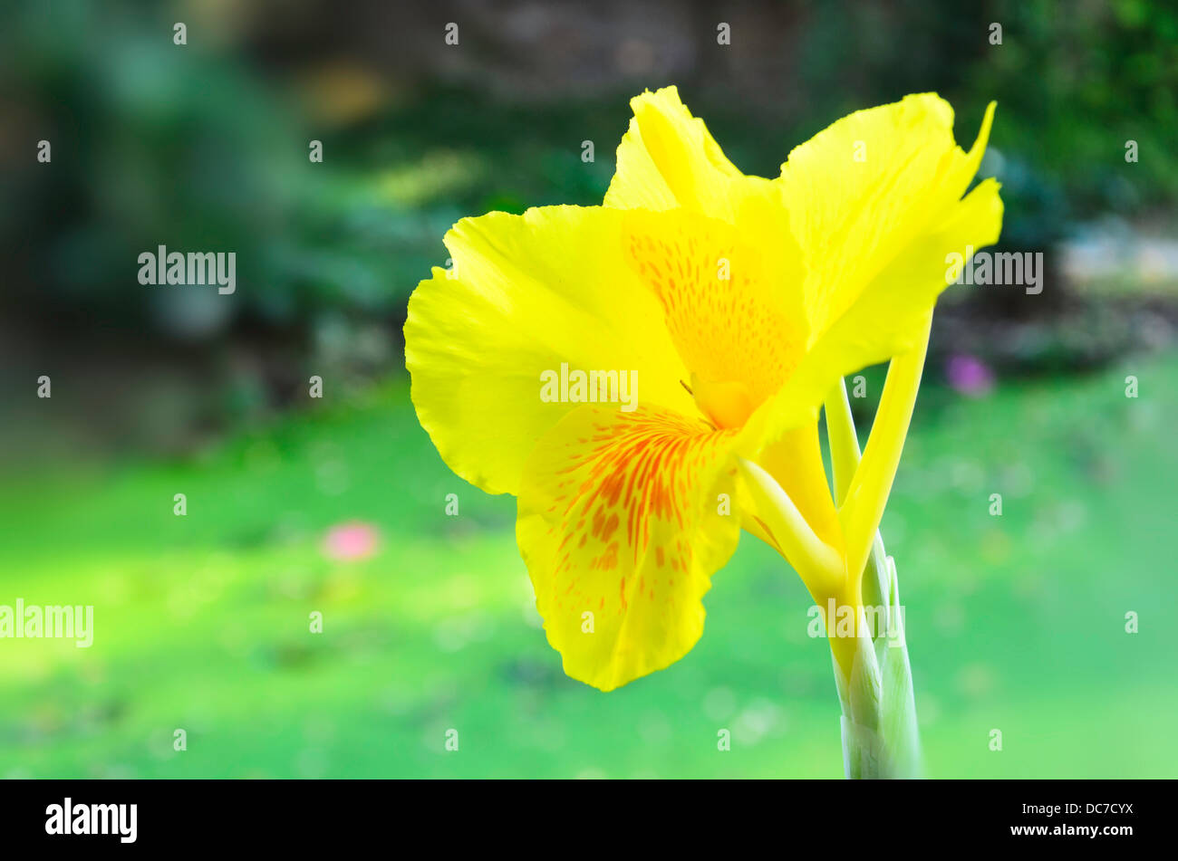 Canna flower stock photos canna flower stock images alamy the yellow canna flower in the garden stock image mightylinksfo
