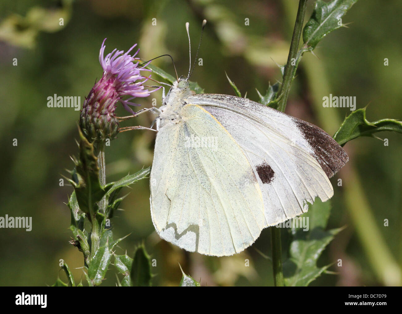 Female Large Cabbage White (Pieris brassicae) foraging on various purple flowers with wings open and closed - Stock Image
