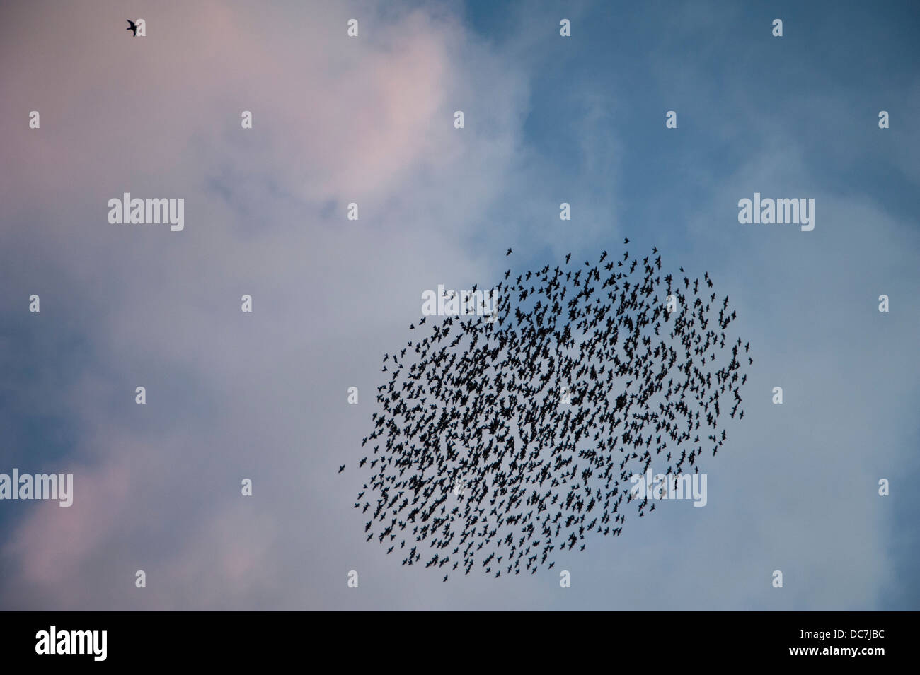 A Flock of Starlings (Sturnus vulgaris) Aberystwyth Wales UK. form into a baitball formation with a Peregrine Falcon - Stock Image