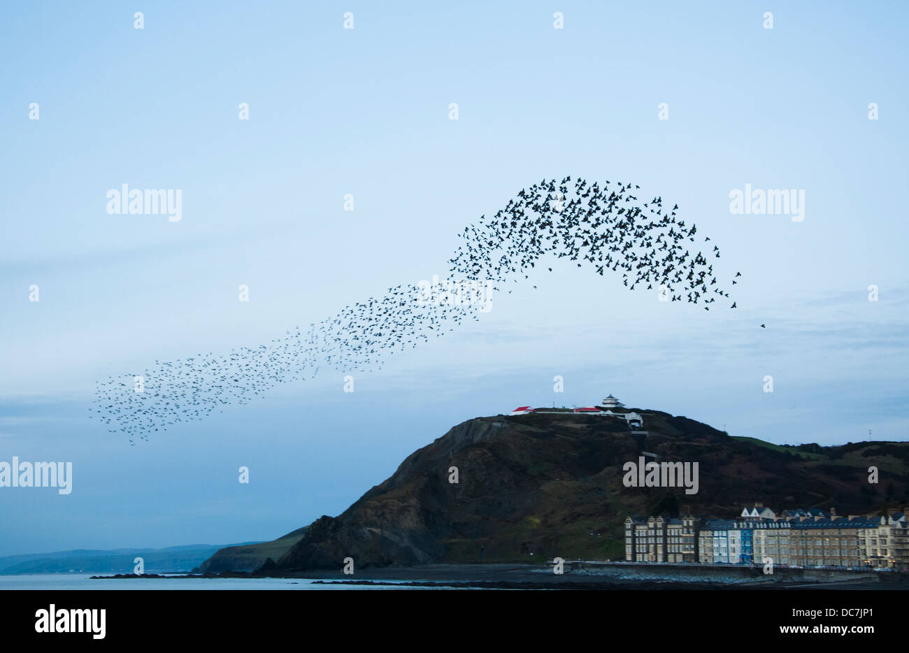 Starlings [Sternus vulgaris] gather for their mass annual autumn / winter roost at Aberystwyth. - Stock Image