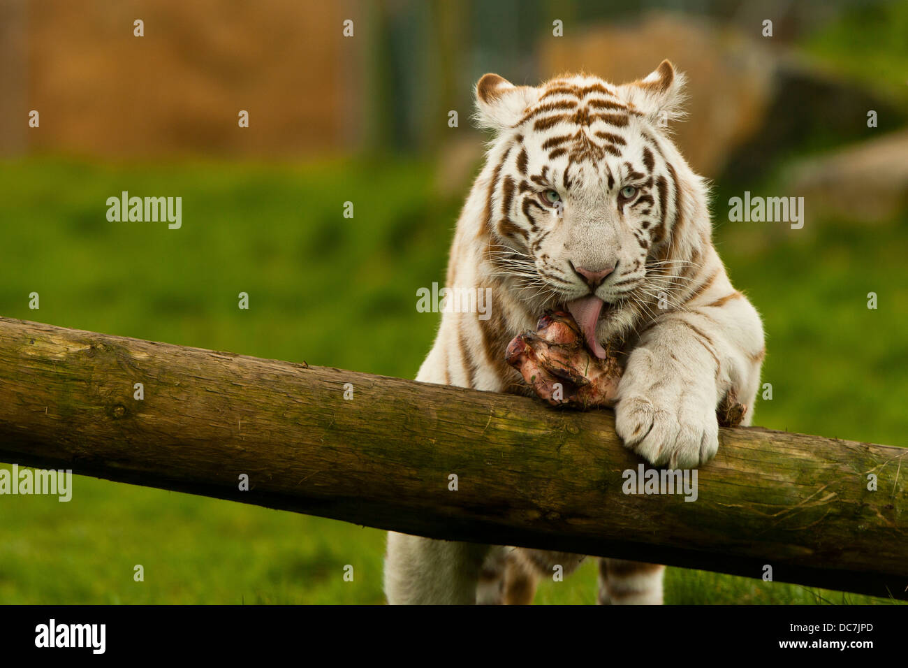 White Tiger Eating Mea...