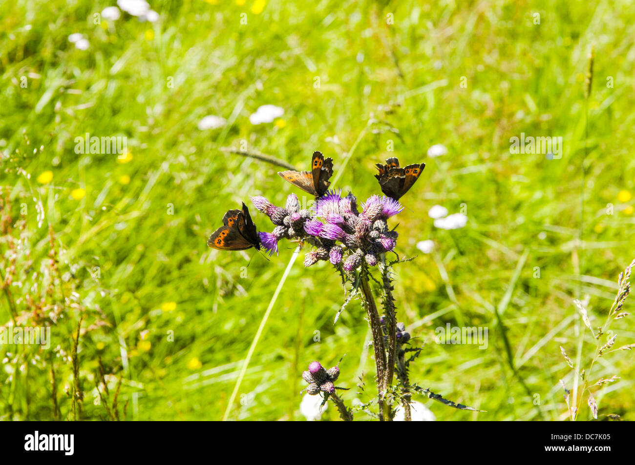 Schmetterlinge auf Distel - Stock Image