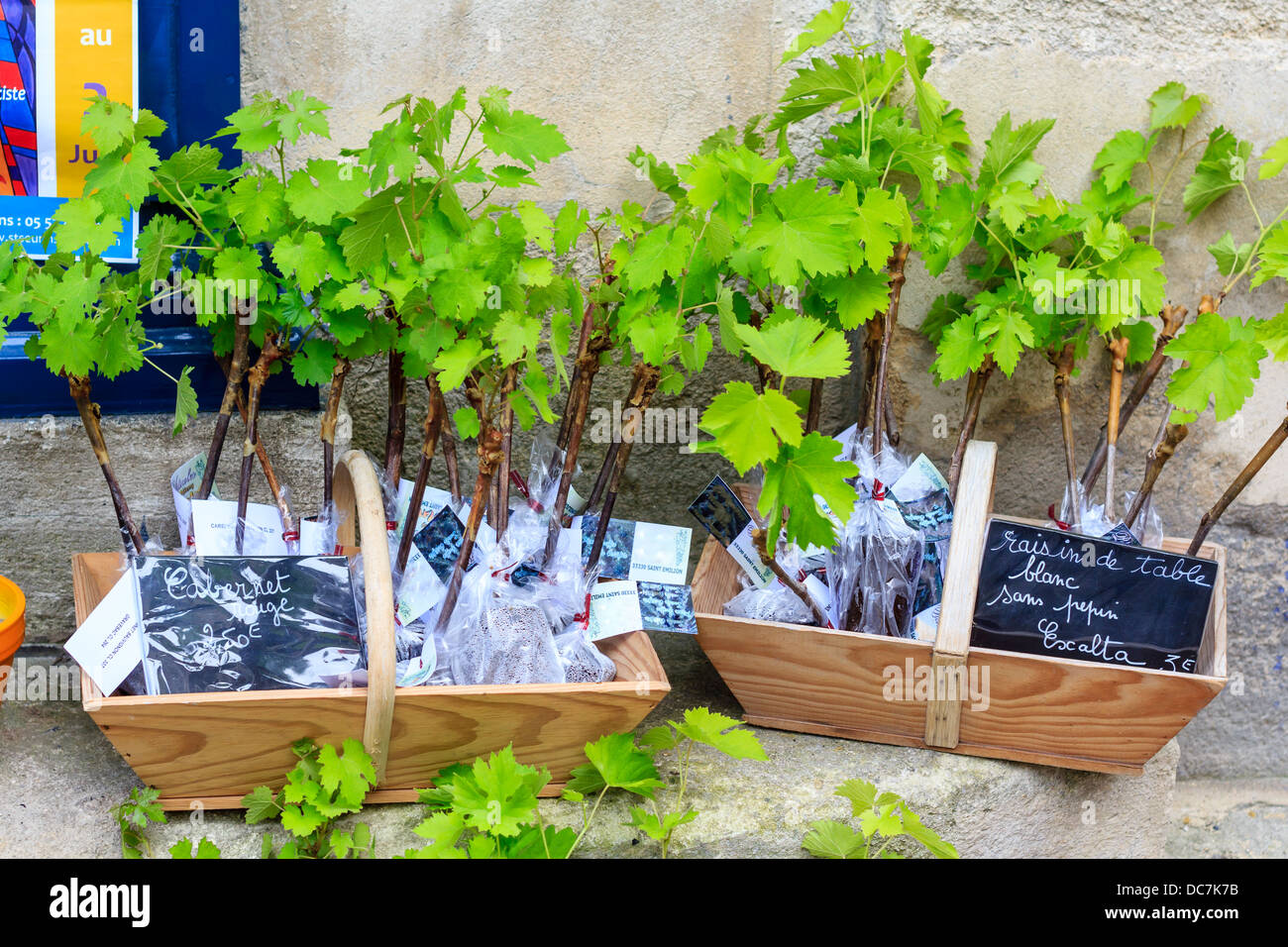 Young grape shoots available for sale in St-Emilion, France - Stock Image