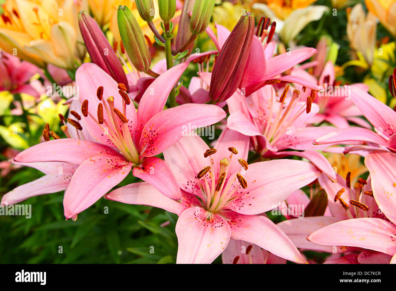 Rainbow lilies stock photos rainbow lilies stock images alamy luxury flowers of lilies on a flowerbed stock image izmirmasajfo