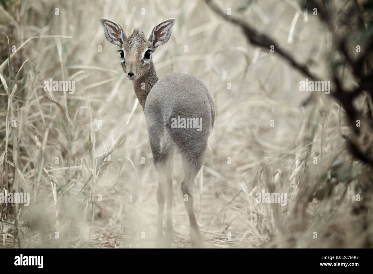 Dik - dik antelope . Tarangire national park. Tanzania Africa - Stock Image
