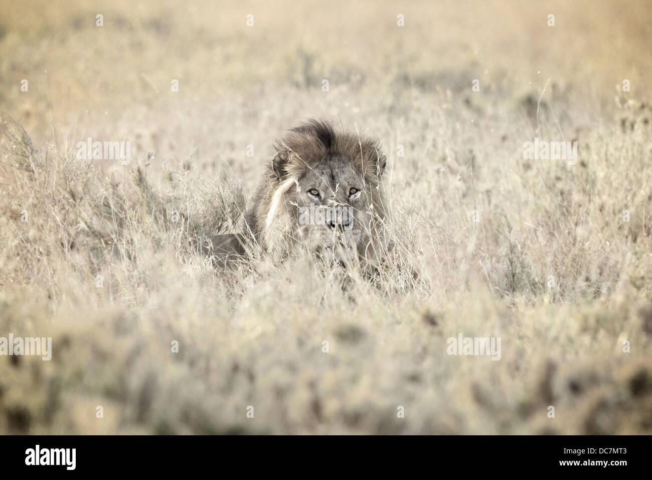 Male lion . Serengeti . Tanzania Africa. - Stock Image