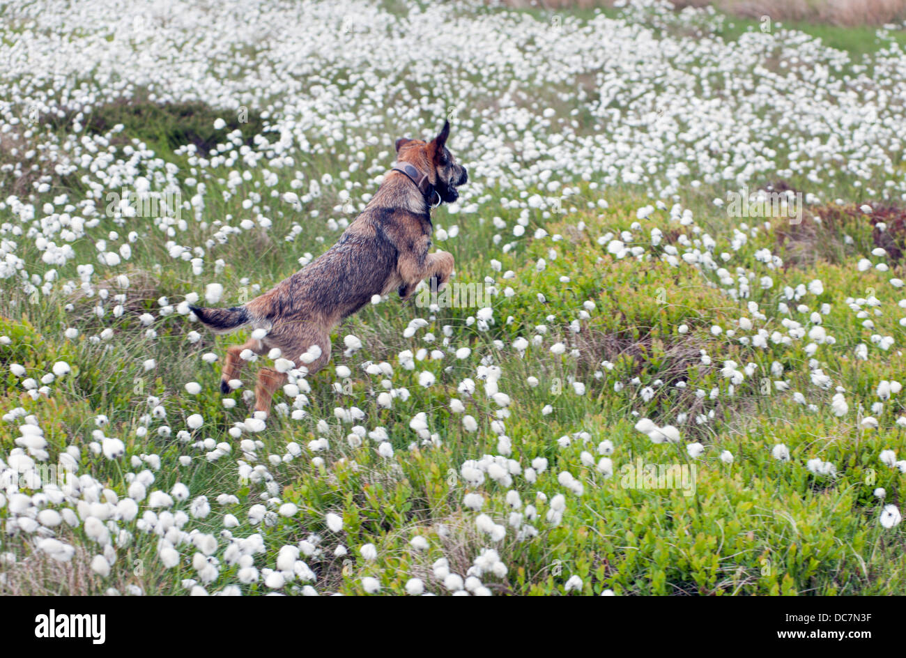 Border terrier dog six months old leaping on moorland covered with flowering cotton grass - Stock Image