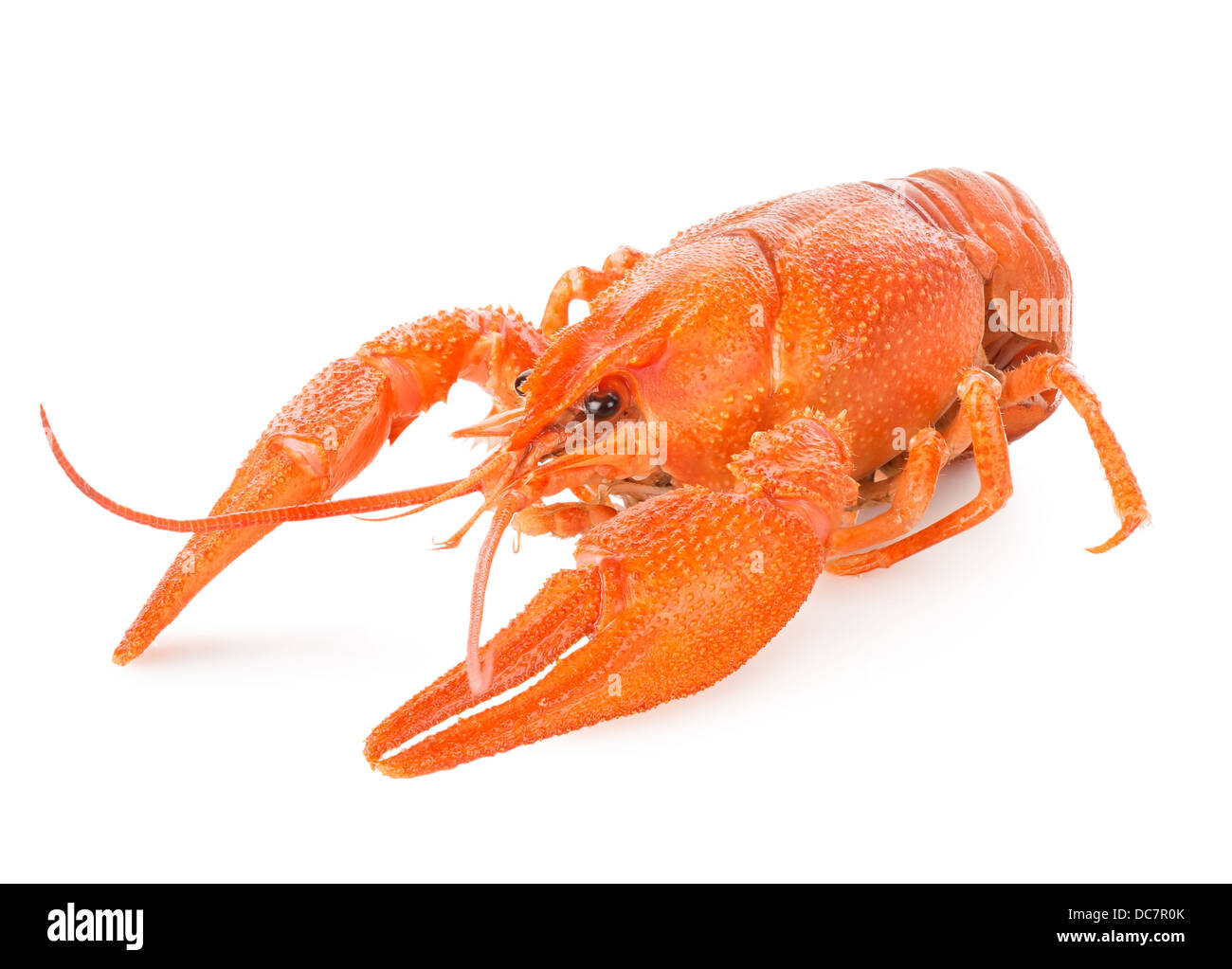 Red lobster isolated on a white background - Stock Image