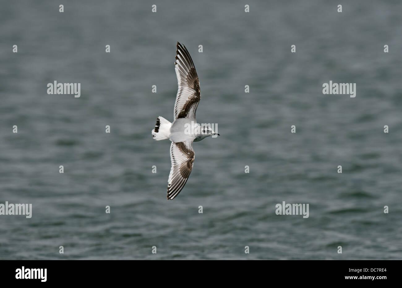 Little Gull 1st winter - Stock Image