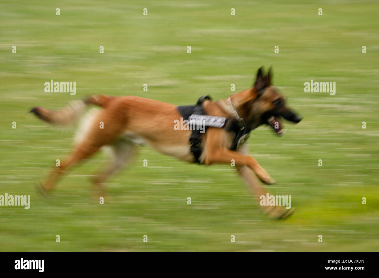 Police K-9 dog running blurred with speed - Stock Image