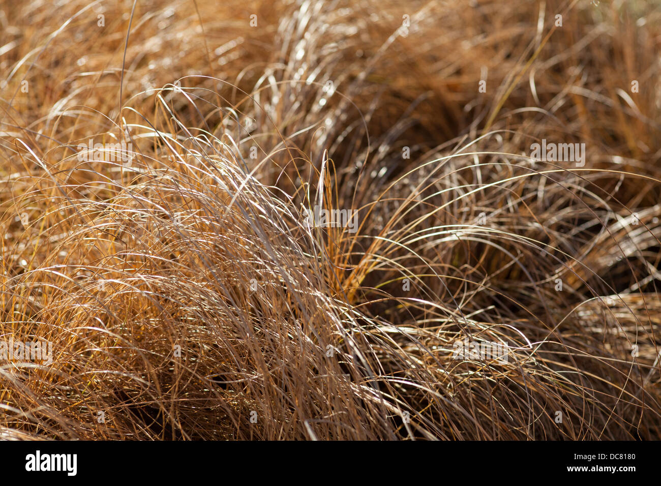 Carex 'Frosted Curls' - Stock Image