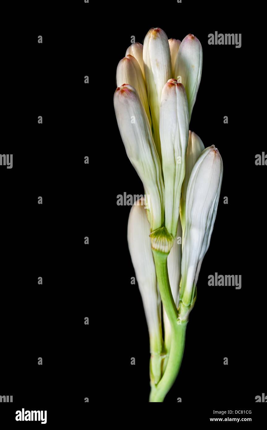 Close Up White Tube Rose Flower Isolated On Black Background Stock