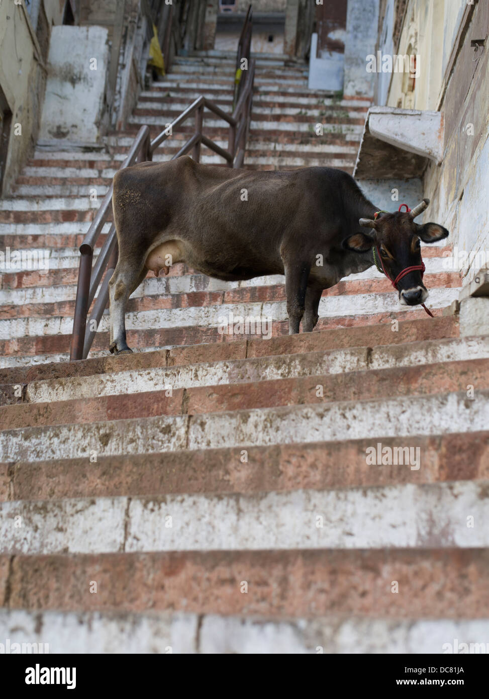 Sacred Cow half way up a flight of stairs on the banks of the Ganges River - Varanasi, India - Stock Image