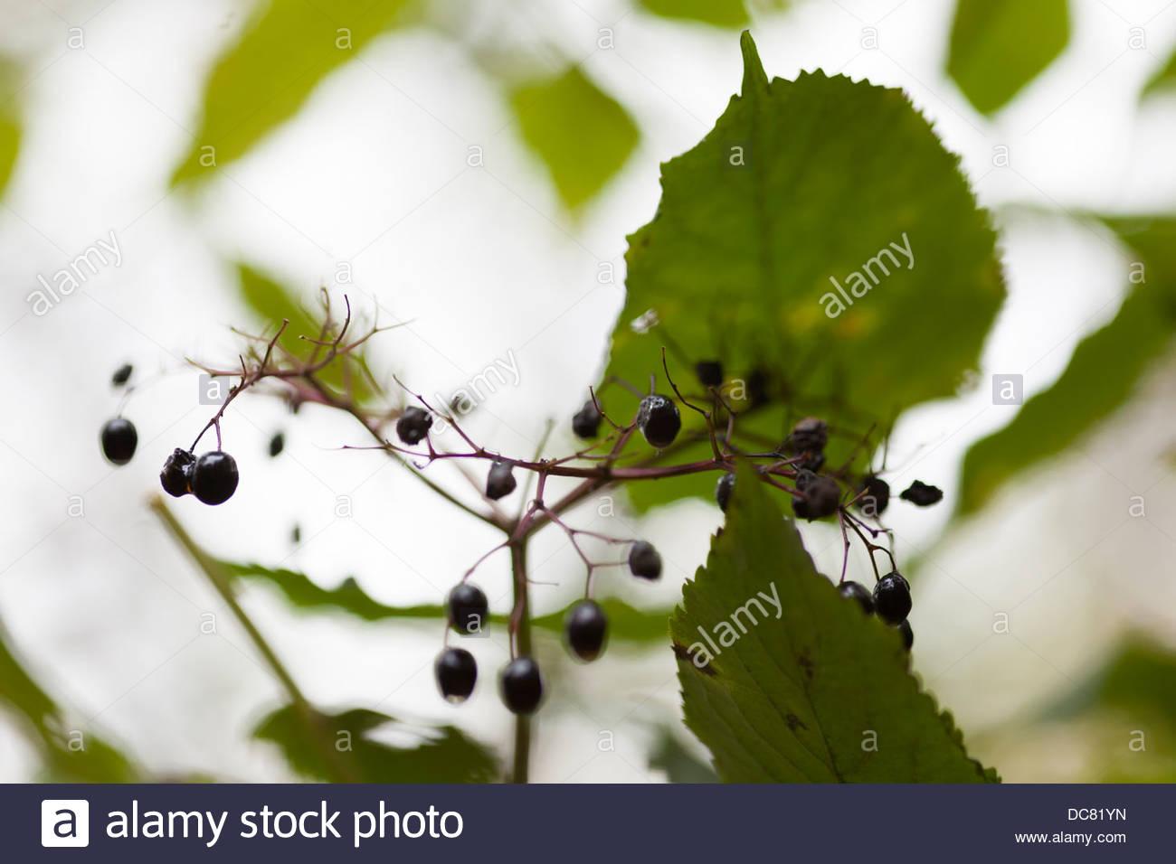 Elder berries in autumnal woodland - Stock Image