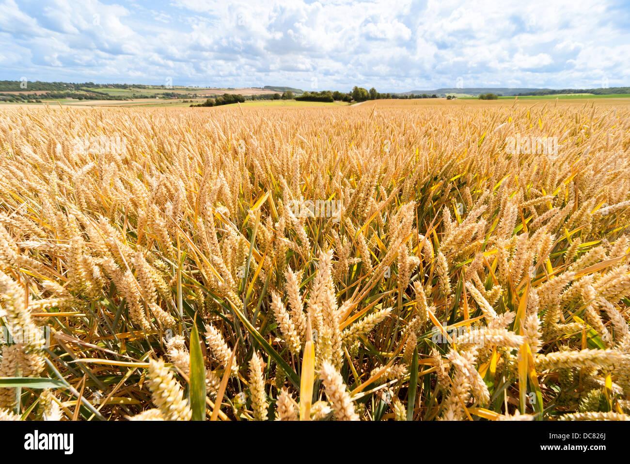 Ears of wheat, grain, in wheat field, fields, wheatfield, wheatfields in summer. Landscape landscapes - Stock Image