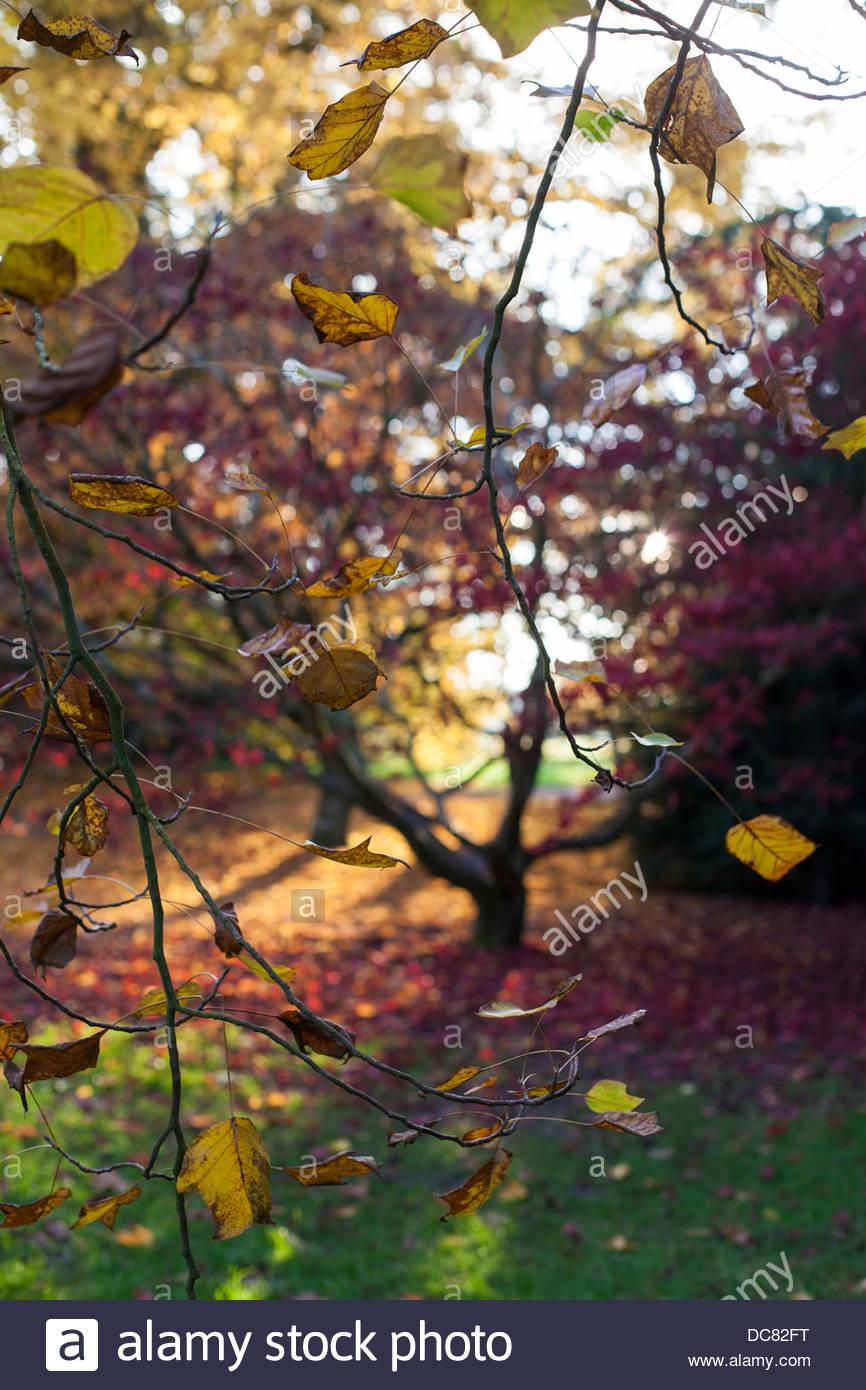 Acer glade in autumn at Westonbirt Arboretum, Glos. - Stock Image
