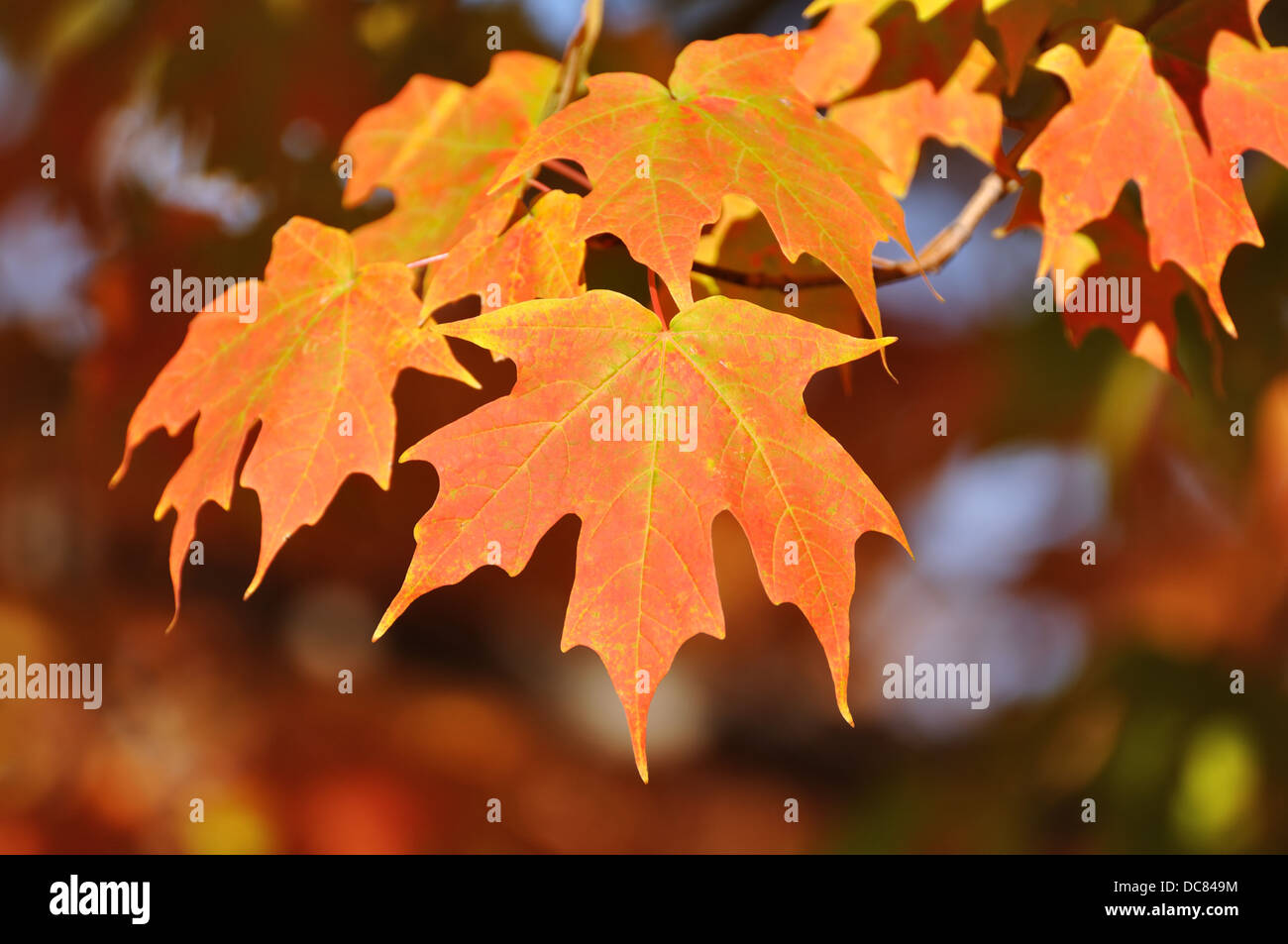 Maple tree leaves in the fall - Stock Image