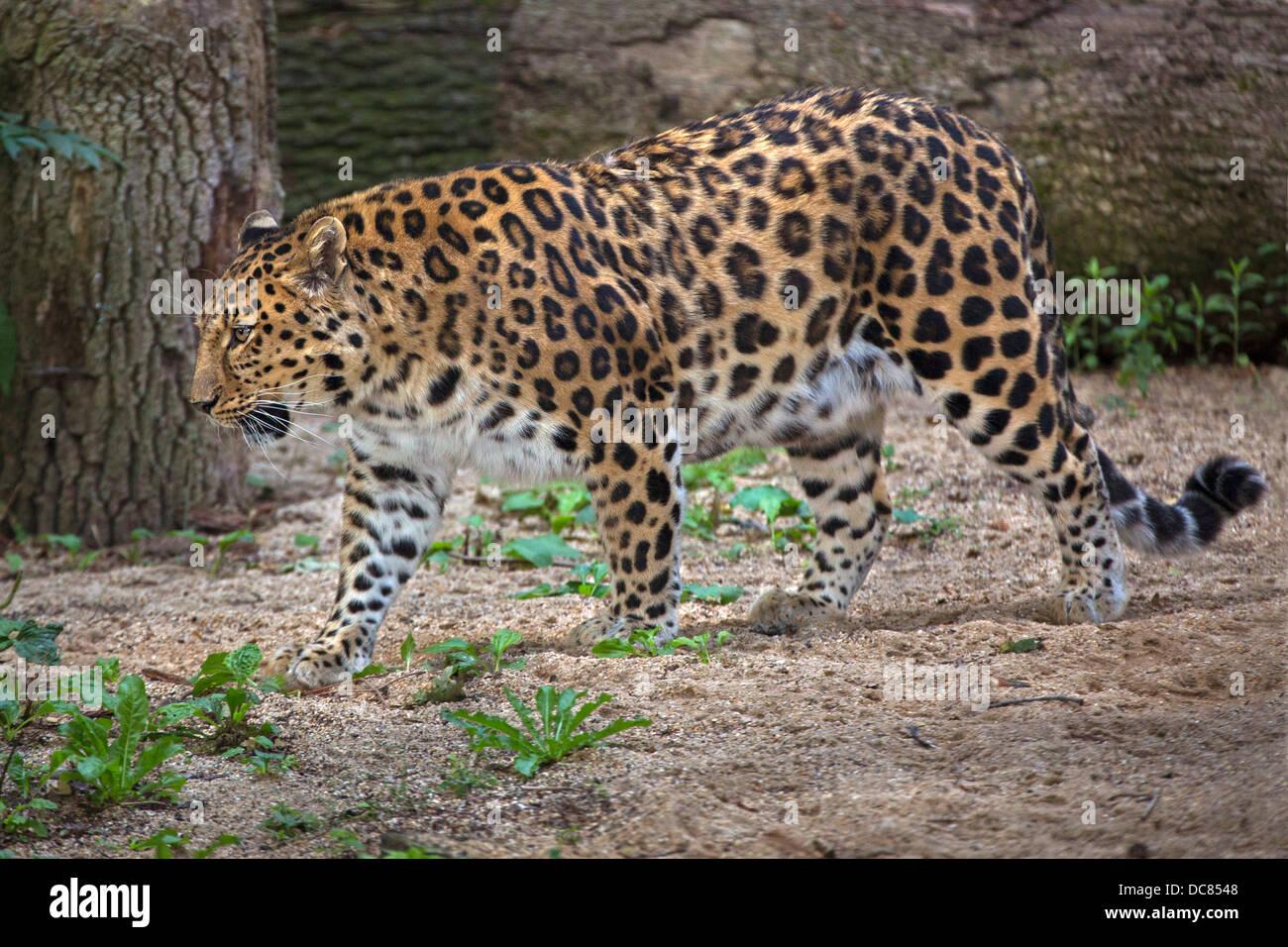 Amur Leopard - Stock Image