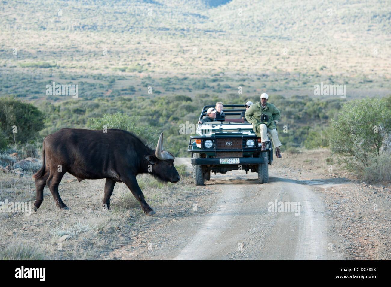 Buffalo (Syncerus caffer caffer) and safari vehicle, Kwandwe Game Reserve, South Africa - Stock Image